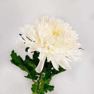 Хризантемы одноголовые поштучно