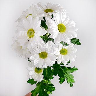 Белая хризантема Бакарди