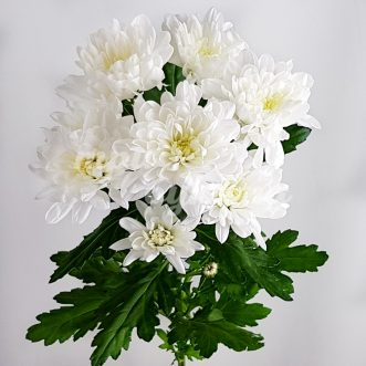 Белая хризантема Балтика