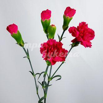 Кустовая розовая гвоздика Скайуокер