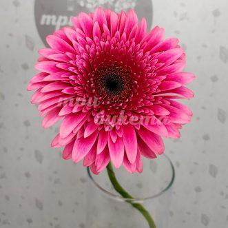 Розовая гербера Мариатта