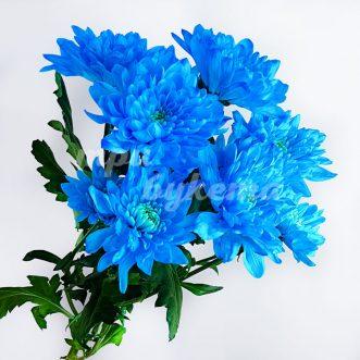 Синяя хризантема Балтика