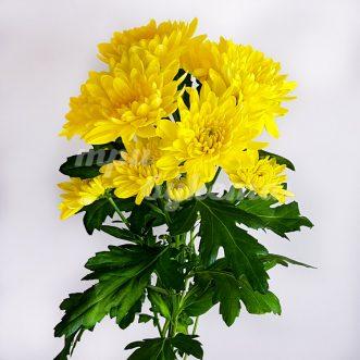 Желтая хризантема Балтика
