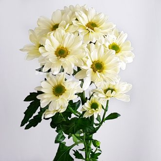 Желтая хризантема Просекко