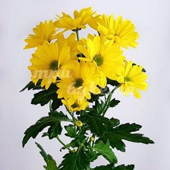 Желтая хризантема Селебрейт